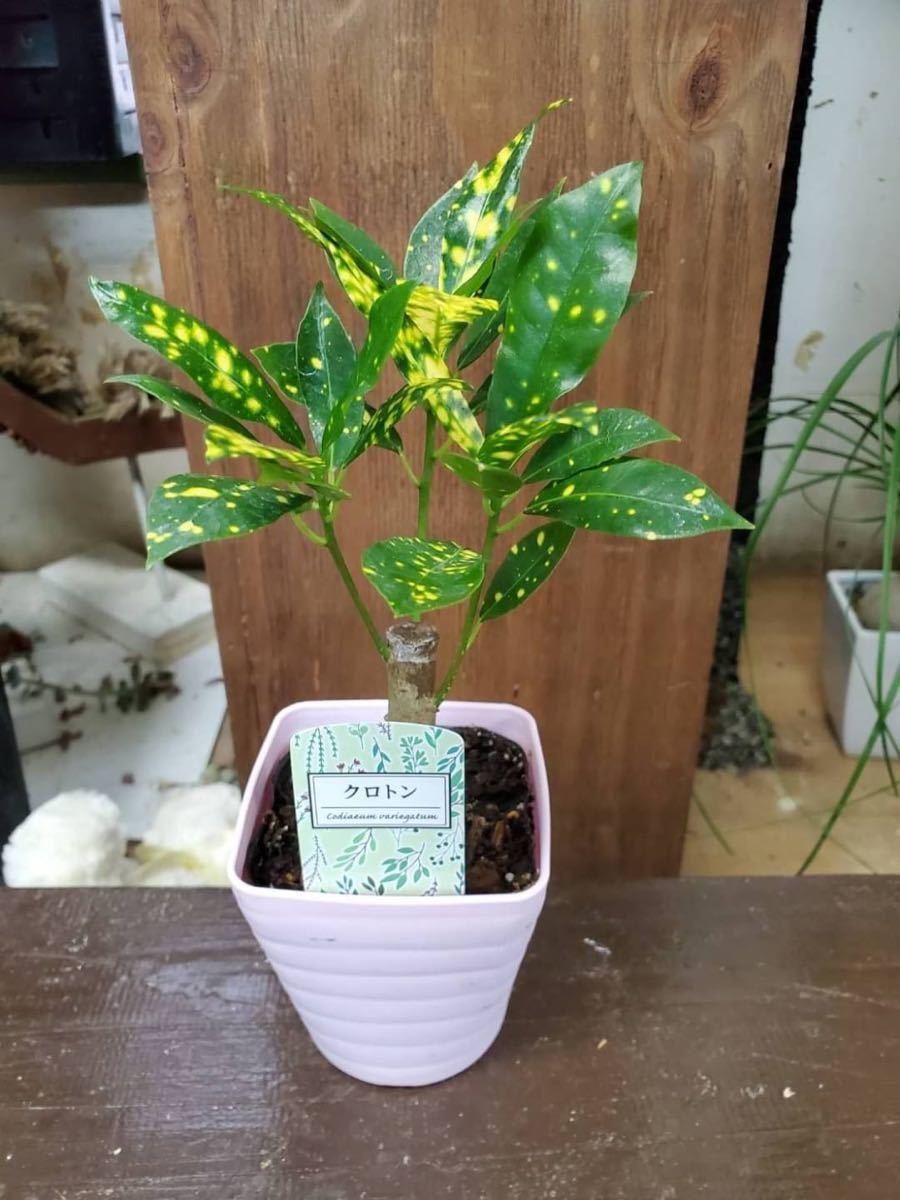 観葉植物 クロトン