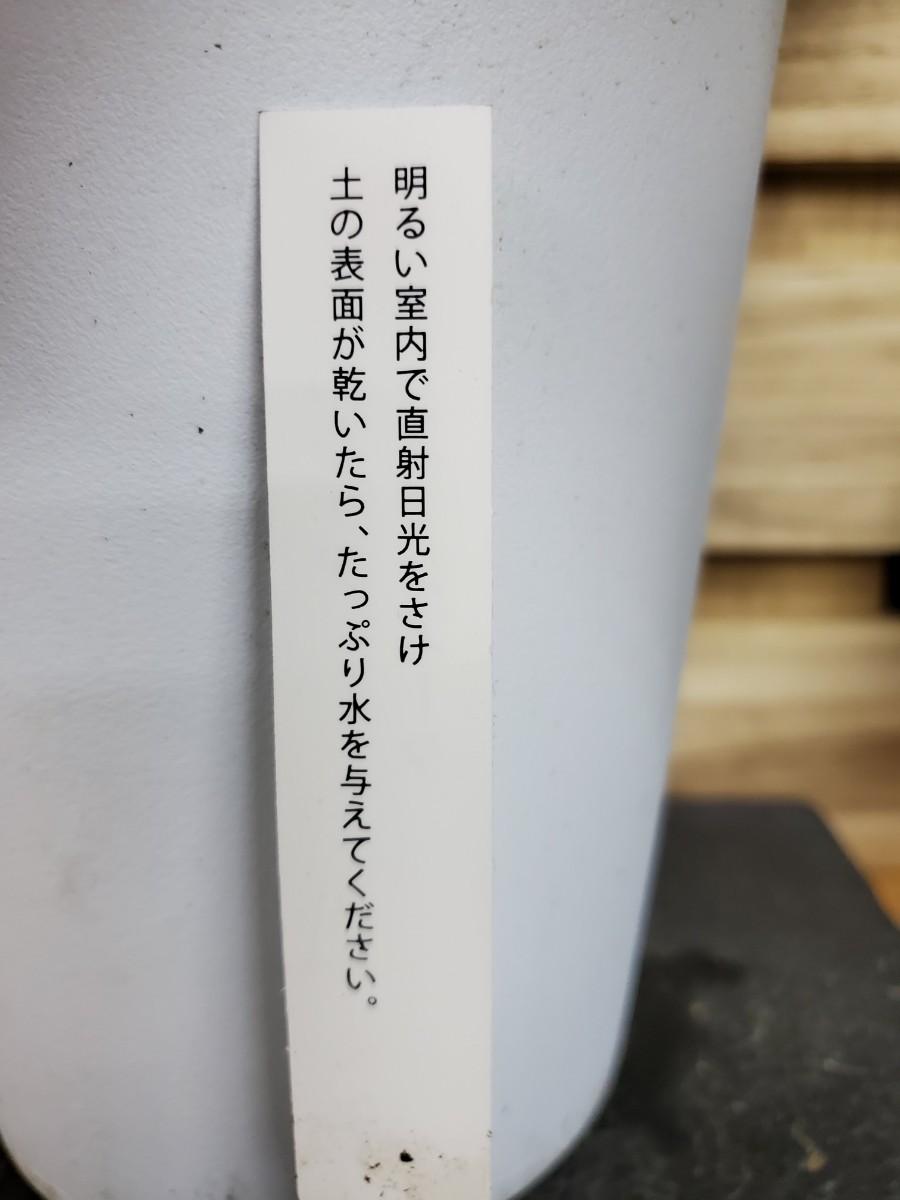 観葉植物『カラテア・ファシアータ』①