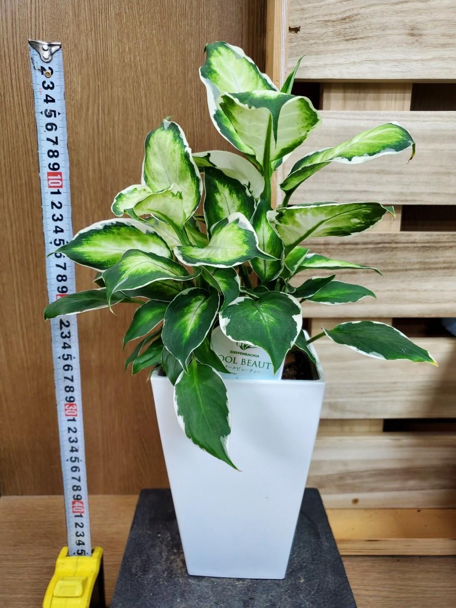 観葉植物『ディフェンバキア・クールビューティー』③