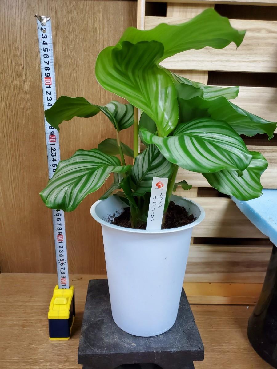 観葉植物『カラテア・オルビフォリア』③