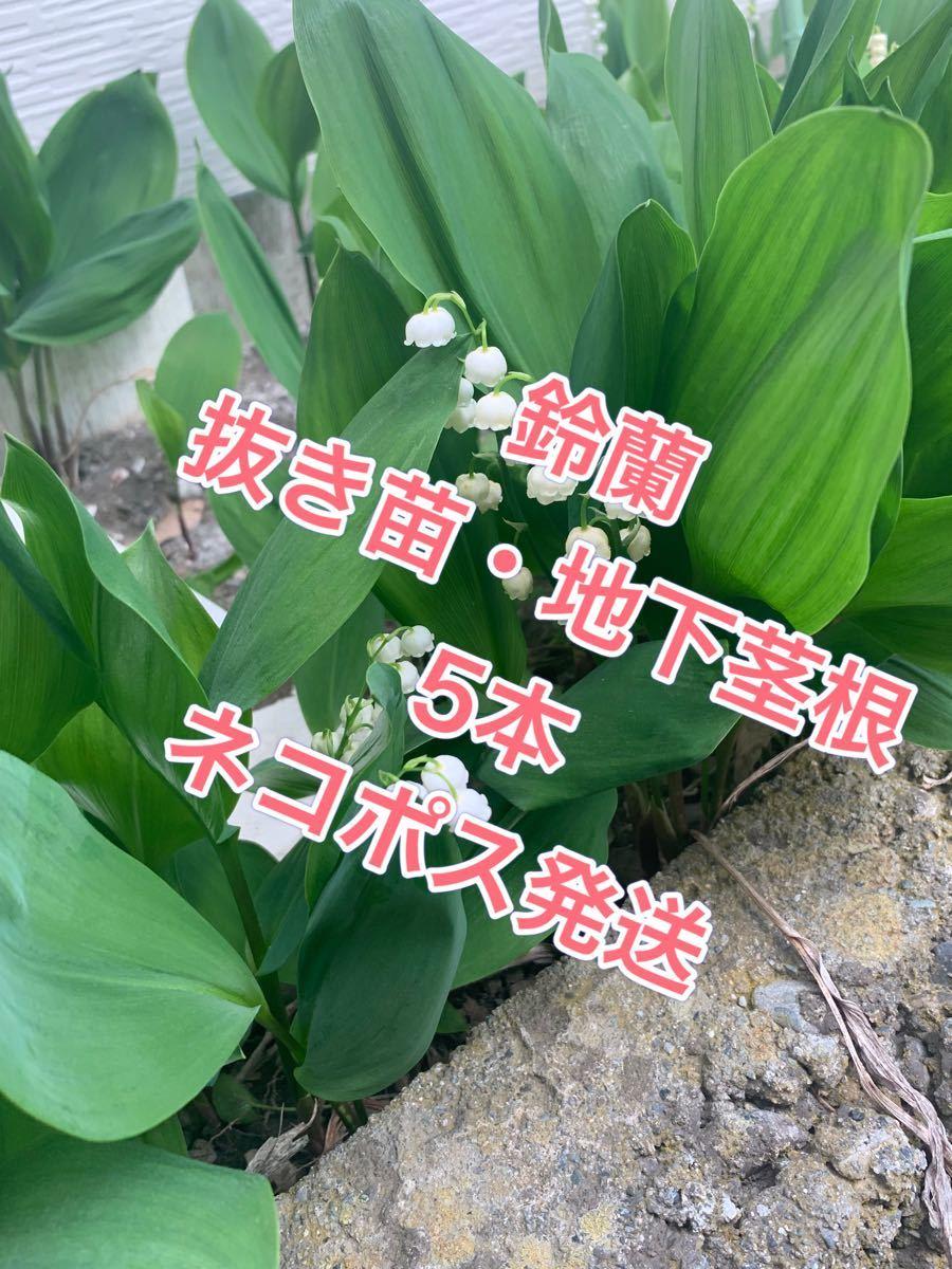 ★2021年産★ すずらん 鈴蘭 抜き苗 地下茎根 約5株 H-107