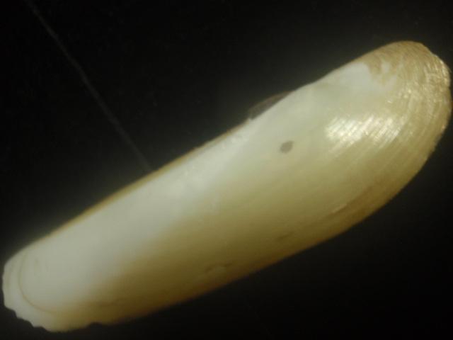 ユキノアシタ貝殻貝標本カニ図鑑オブジェ骨格骨董ウニサメかわいいインテリア学術標本美術モチーフ化石鉱石アクア水槽熱帯魚剥製昆虫_画像2