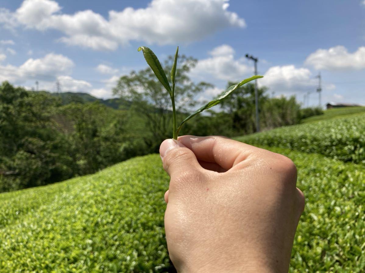 「新茶」深蒸し春番茶Lサイズ 宇治茶100% 無農薬 化学肥料不使用 2021年産_画像3