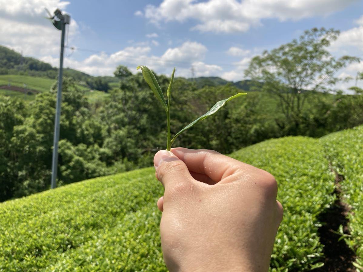「新茶」焙煎ほうじ茶Sサイズ 宇治茶100% 無農薬 化学肥料不使用 2021年産_画像3