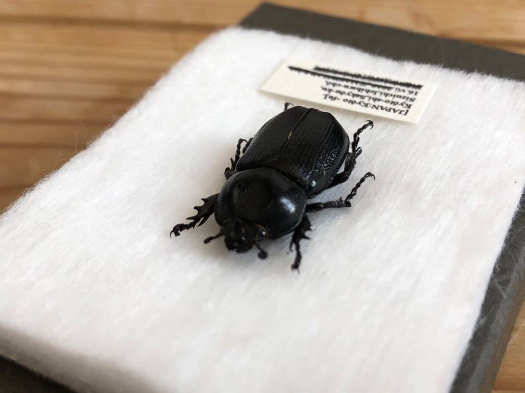 昆虫標本 京都府産 コカブト_画像2