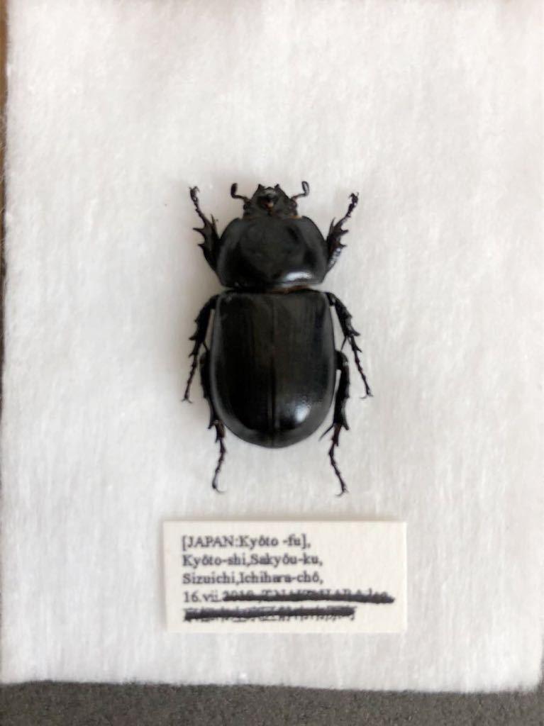 昆虫標本 京都府産 コカブト_画像1