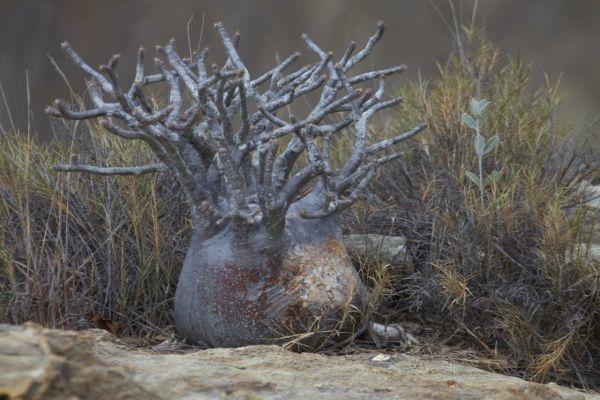 Pachypodium rosulatum var. gracilius パキポディウム グラキリス 象牙宮 種子 10粒_参考画像