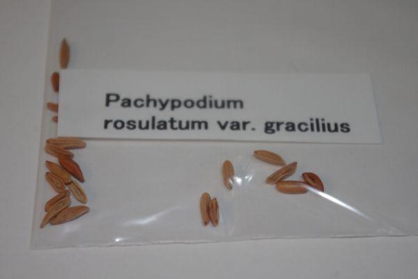 Pachypodium rosulatum var. gracilius パキポディウム グラキリス 象牙宮 種子 10粒_画像2