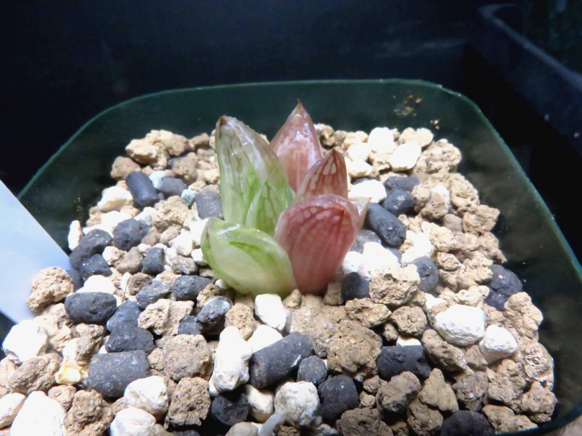 多肉植物 ハオルチア 宝草錦_画像4