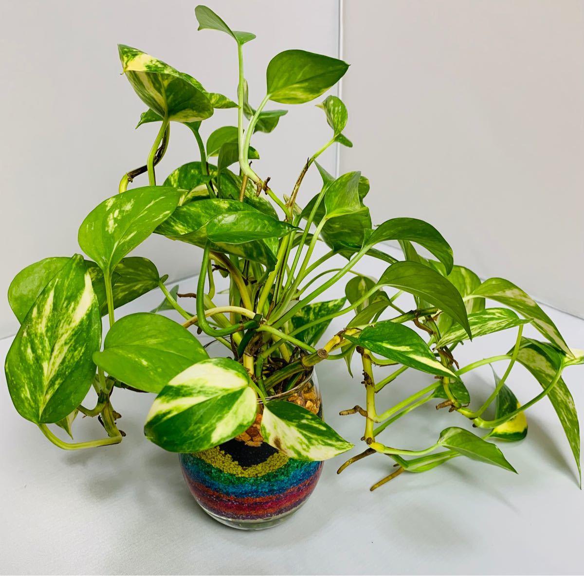 ポトス ハイドロカルチャー 特大 カラーサンドアート 観葉植物