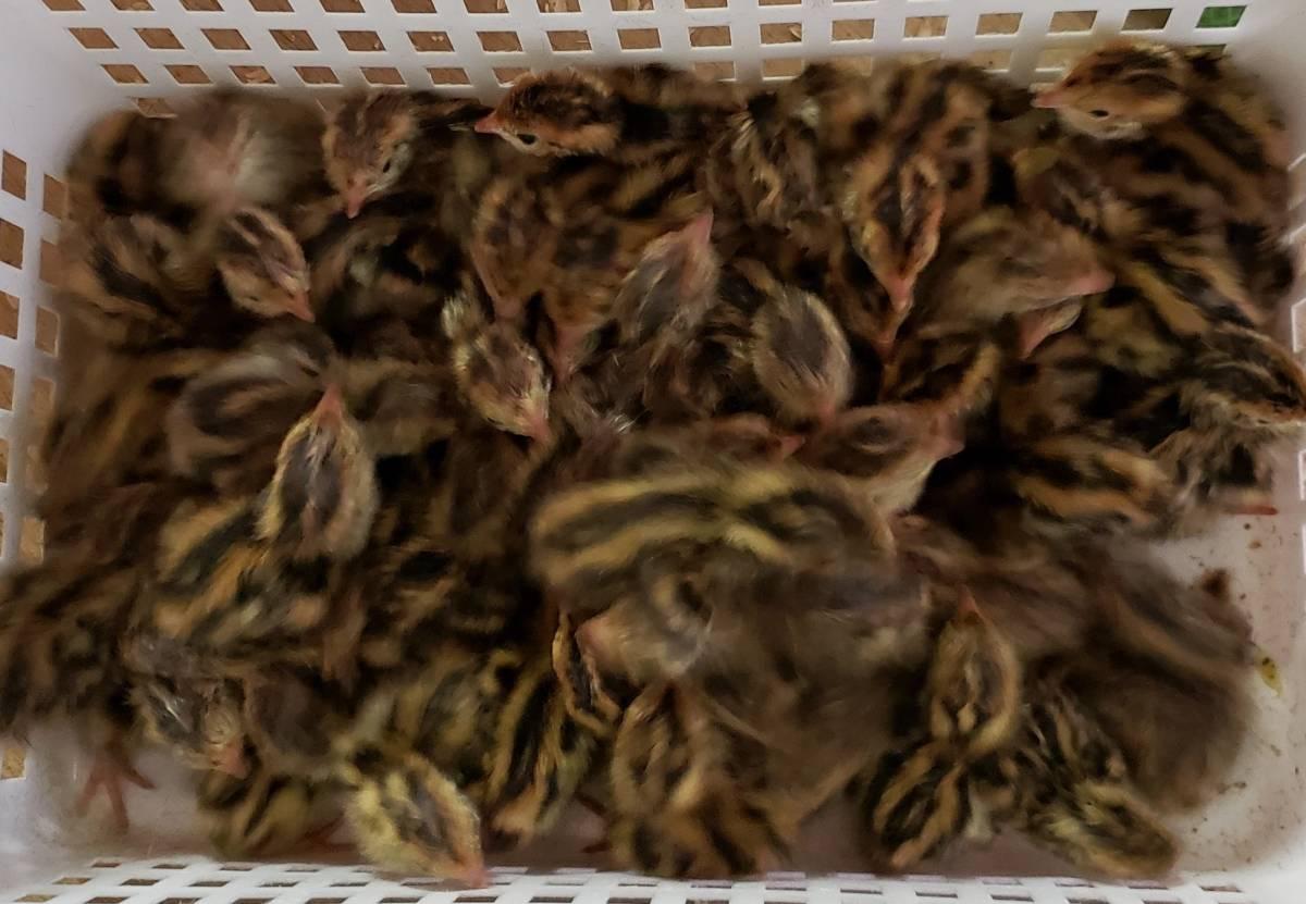 鶉の有精卵10個(種卵)有精卵+保証あり_画像3