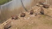 鶉の有精卵10個(種卵)有精卵+保証あり_画像2