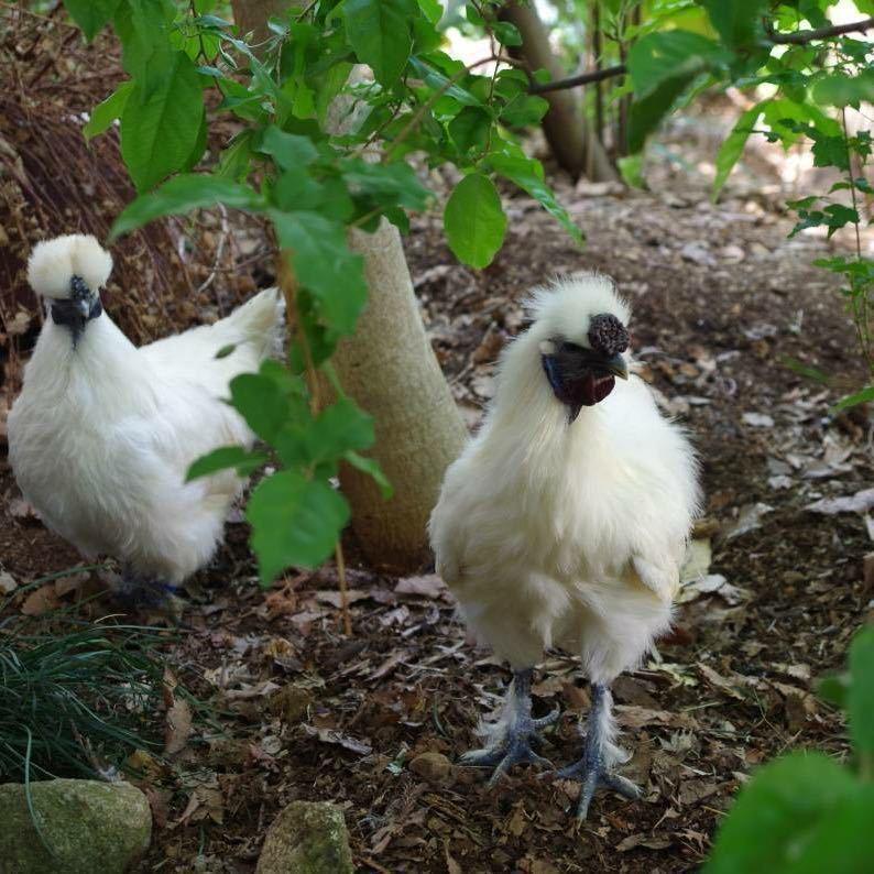 平飼い 烏骨鶏のたまご 6個 #有精卵 #アニマルウェルフェア #ゲージフリー #ストレスフリー_画像3