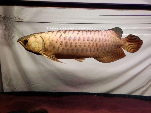 新発売 桃財龍灯 アロワナ ピンクゴールド 水中照明 LED 2列 ライト アクアリウム 金龍 大型水槽 150cm水槽用 でんらい PG-150EX_画像8