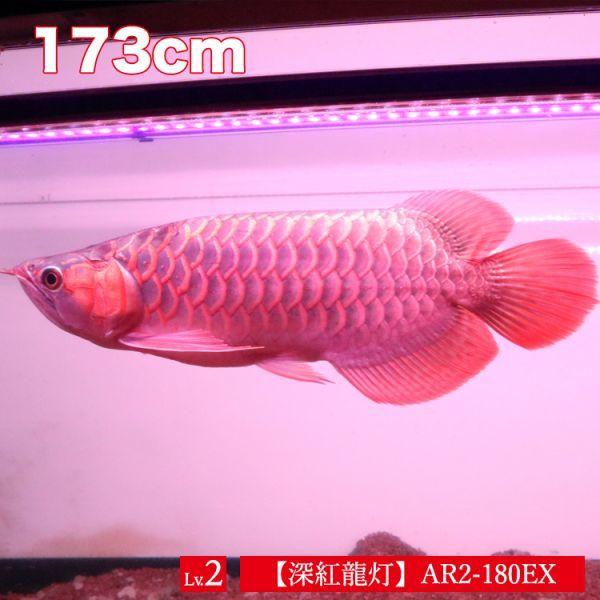 深紅龍灯 アロワナ レッド レベル2 LED 2列 大型水槽 水中照明 アロワナライト アクアリウム 熱帯魚 紅龍 180cm水槽用 でんらい AR2-180EX_画像2