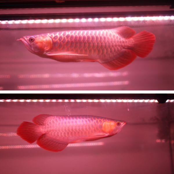 朱紫龍灯 アロワナ LED 2列 UV リバイブソード ライト 色あせ 色揚げ 大型水槽 水中照明 アクアリウム 紅龍 金龍 200cm水槽用 AR2UV-200EX_画像10