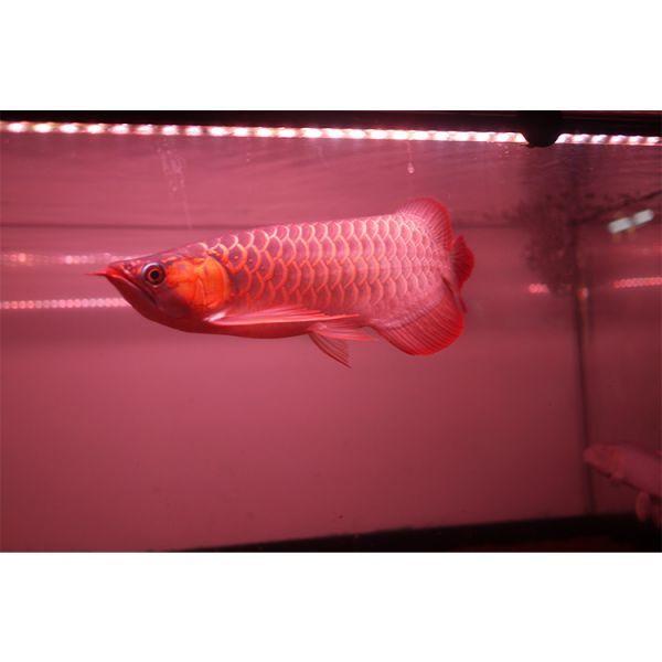 朱紫龍灯 アロワナ LED 2列 UV リバイブソード ライト 色あせ 色揚げ 大型水槽 水中照明 アクアリウム 紅龍 金龍 200cm水槽用 AR2UV-200EX_画像8