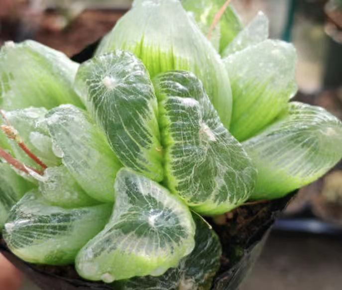 ●○多肉植物 レア品 珍しい品種 ブルビネ属 メセンブリアントイデス 10粒○●_画像2