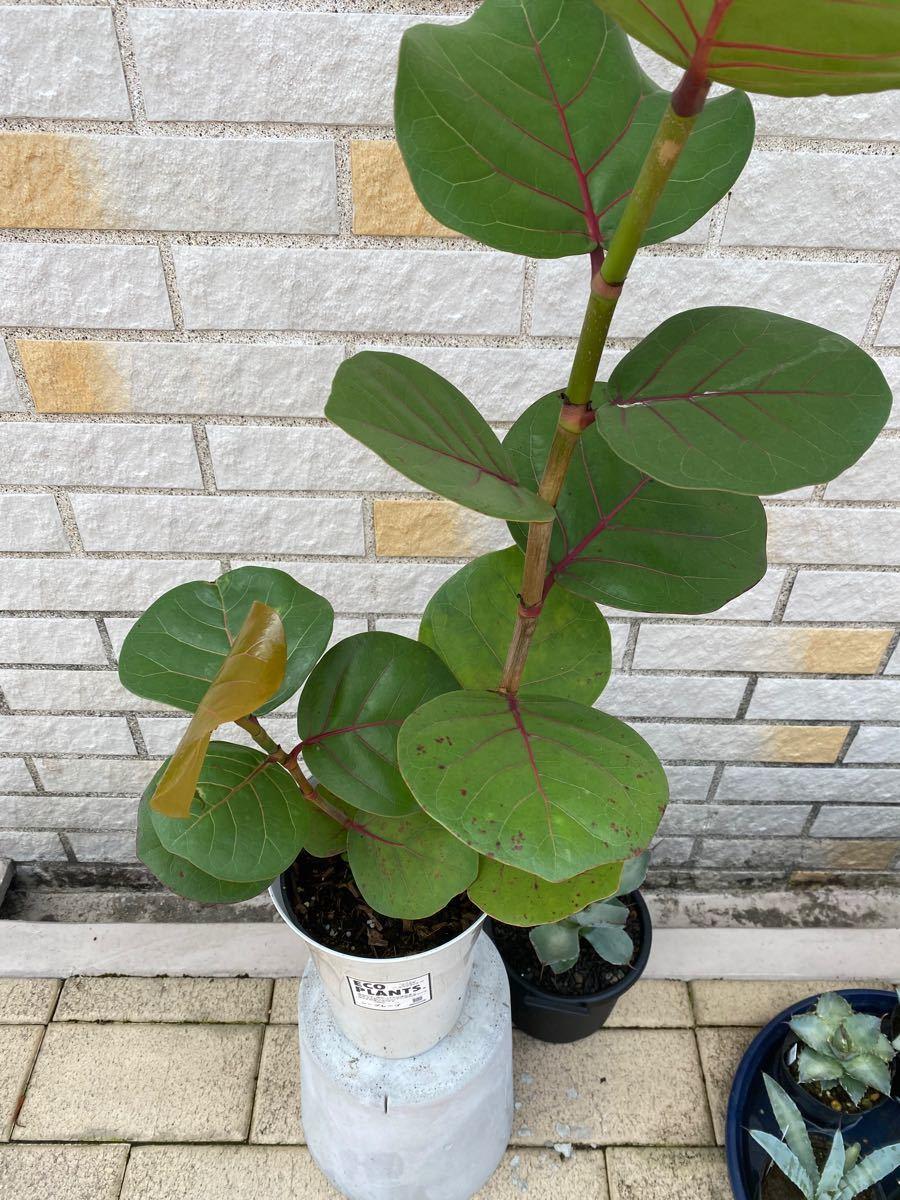 観葉植物 シーグレープ