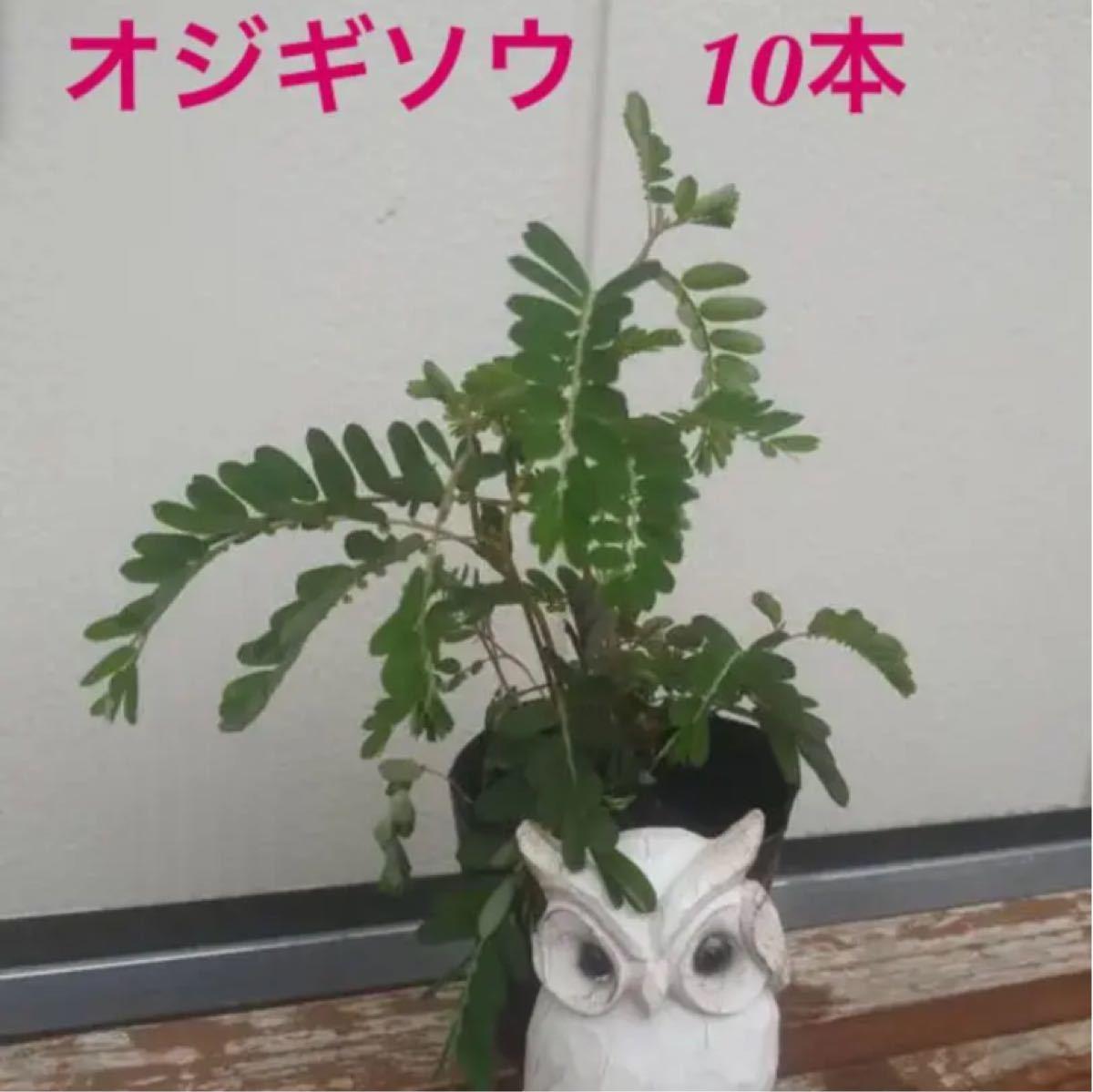オジギソウ おじぎ草 抜き苗10本