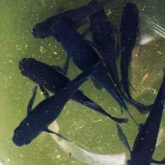【オロチ】東北越冬めだか有精卵20個+α になります。『自然を育みましょう』_画像1