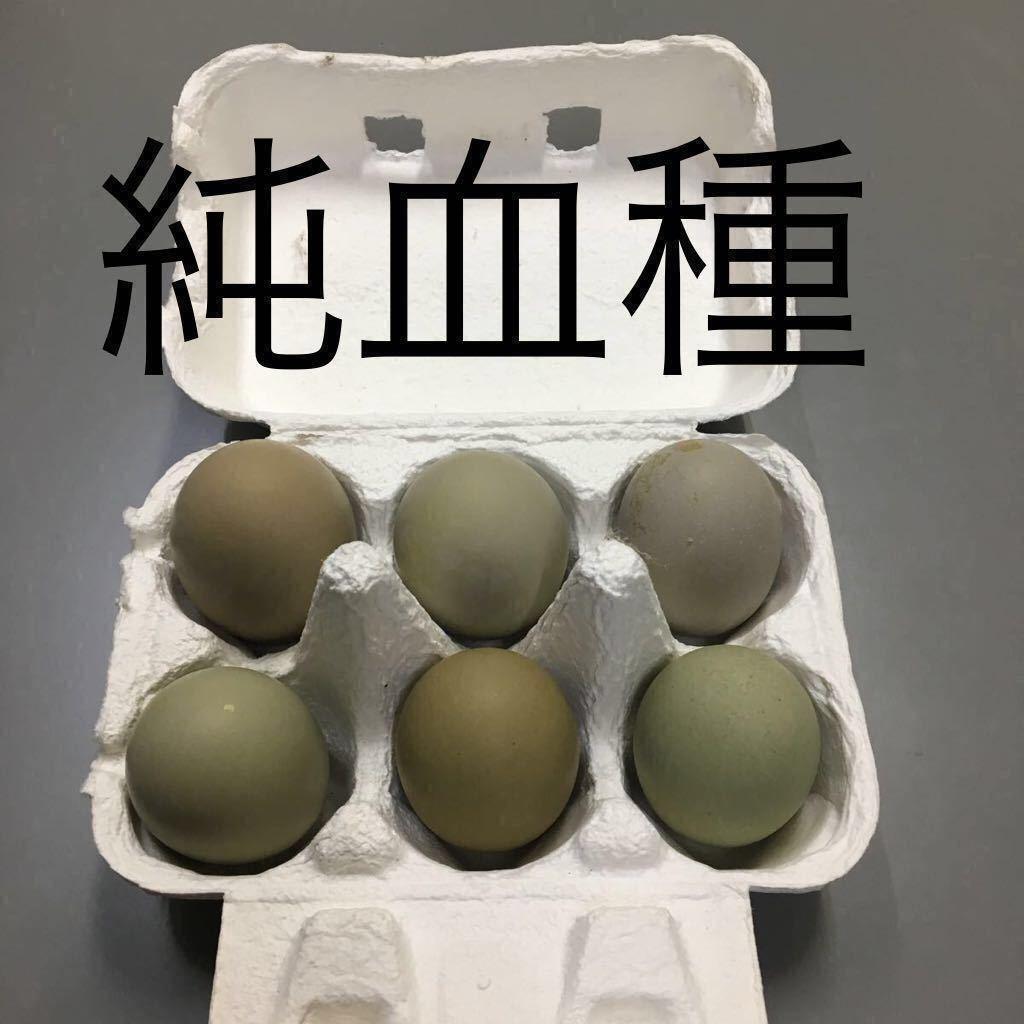 1.翡翠鳥 有精卵5個 プラス割れ保証1個_純血種