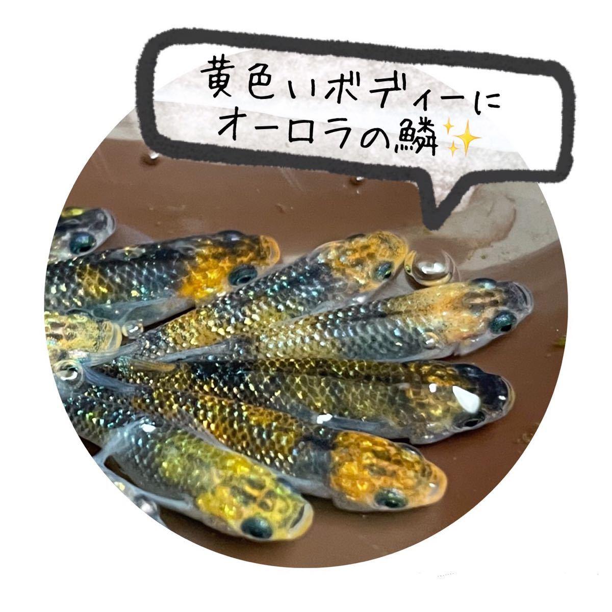 オーロラ黄ラメめだか 有精卵30個+α メダカ卵_画像2