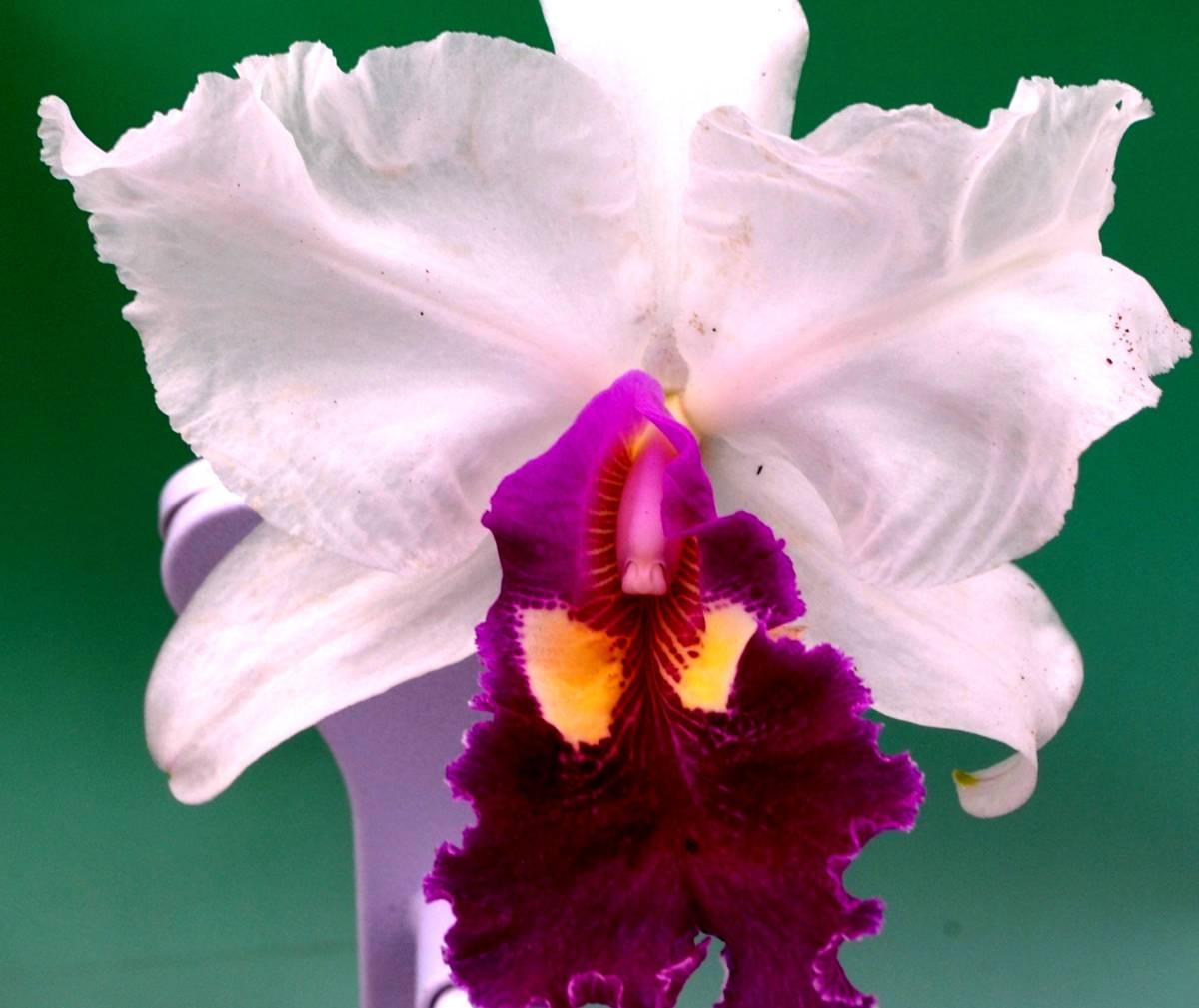 洋蘭原種 C.warscewiczii fma. semi-alba ' Sophia' (女性の名前)(希少original)_画像1