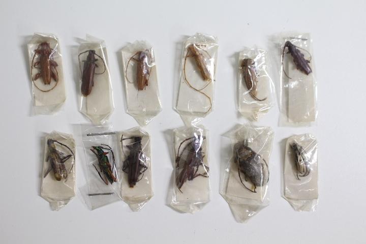 中古◆現状渡し 昆虫標本 カミキリムシ 世界の昆虫 おまとめ メキシコ オーストラリア ブラジル アルゼンチン パプアニューギニア タイなど_画像8