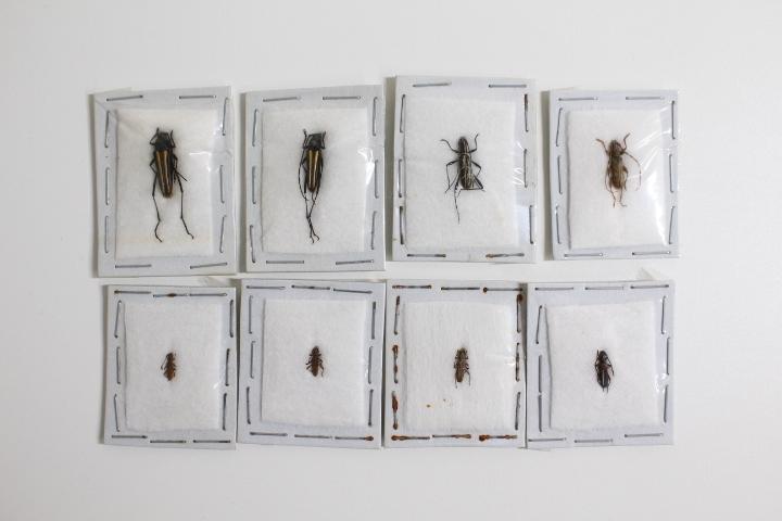 中古◆現状渡し 昆虫標本 カミキリムシ 世界の昆虫 おまとめ メキシコ オーストラリア ブラジル アルゼンチン パプアニューギニア タイなど_画像9