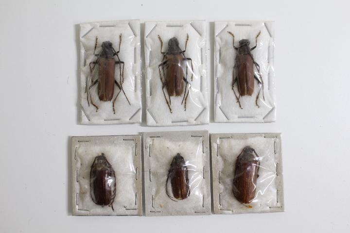 中古◆現状渡し 昆虫標本 カミキリムシ 世界の昆虫 おまとめ ハンガリー タイ マラウイ オーストラリア ブラジル パプアニューギニア など_画像8