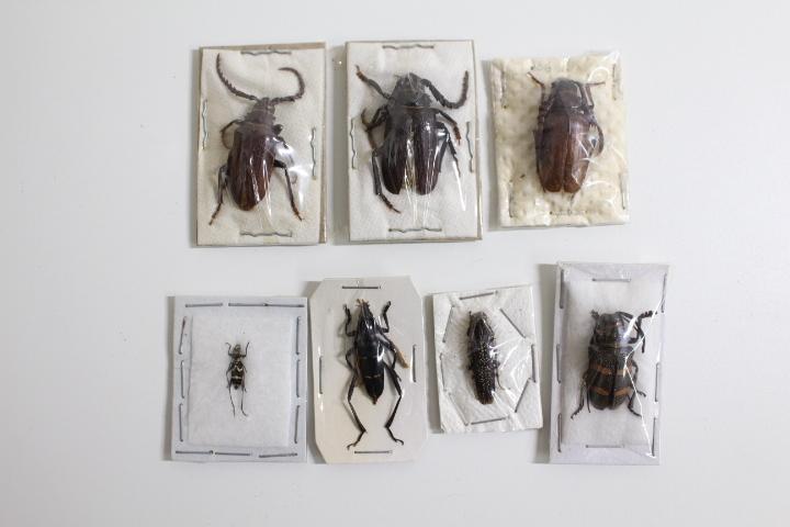 中古◆現状渡し 昆虫標本 カミキリムシ 世界の昆虫 おまとめ ハンガリー タイ マラウイ オーストラリア ブラジル パプアニューギニア など_画像2