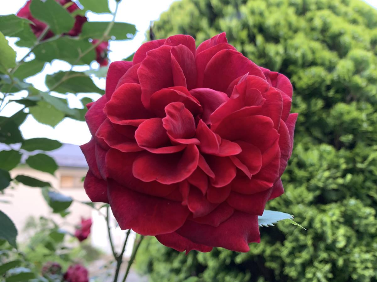 薔薇 ばら 挿し穂 2本 ビロード赤 ■送料無料(挿し木 庭園 低木)バラ ガーデニング 真っ赤 ばら 挿木用_画像1