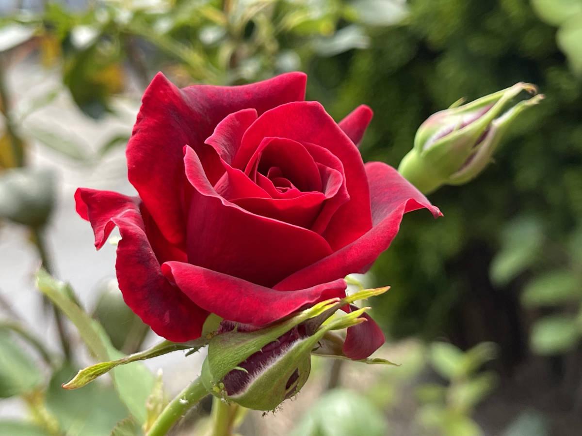薔薇 ばら 挿し穂 2本 ビロード赤 ■送料無料(挿し木 庭園 低木)バラ ガーデニング 真っ赤 ばら 挿木用_画像10