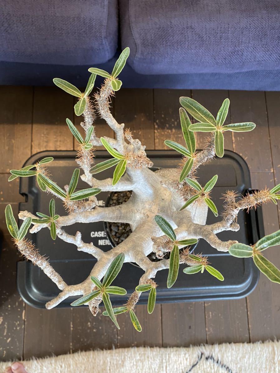 パキポディウム グラキリス × solomon pot_画像7