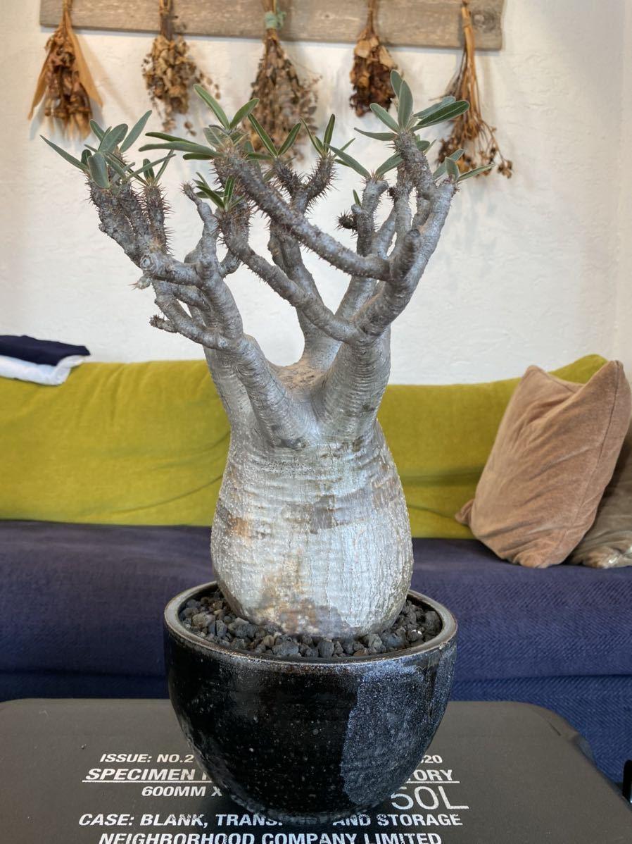 パキポディウム グラキリス × solomon pot_画像3