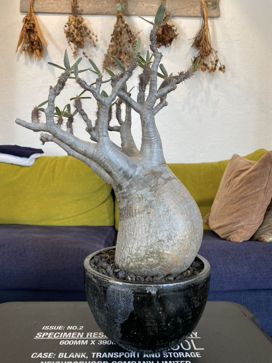 パキポディウム グラキリス × solomon pot_画像2