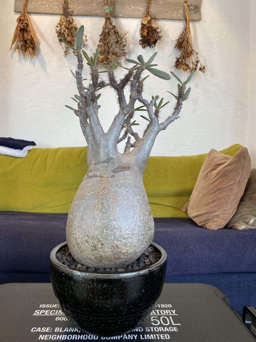 パキポディウム グラキリス × solomon pot_画像5