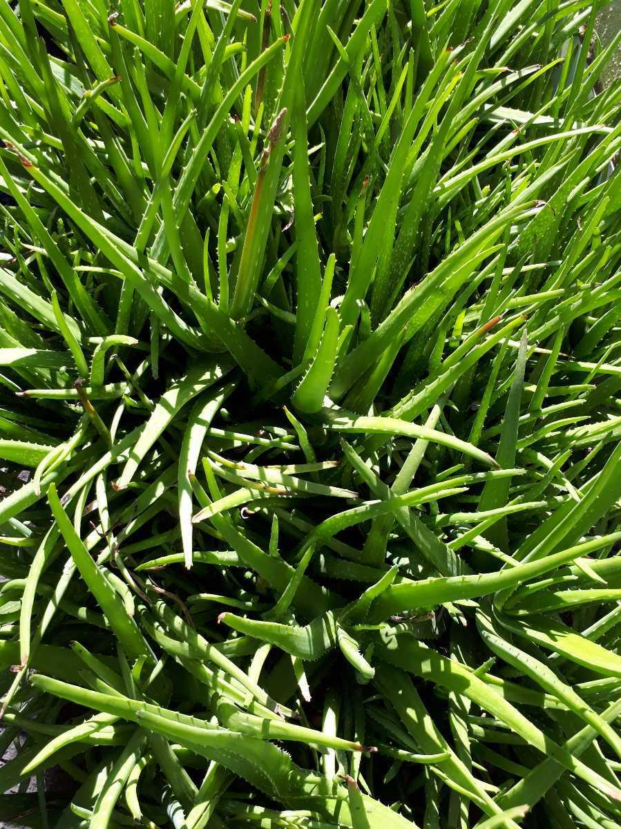 アロエベラ 抜き苗 特大サイズ サイズにより5本前後の予定 隙間に小さな苗オマケ付き 観葉植物 多肉植物