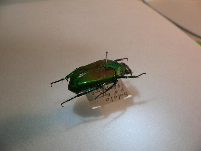 X35 コガネムシ・カナブン類 パプアニューギニア・Bulolo産 標本 昆虫 甲虫 標本 昆虫 甲虫_画像2