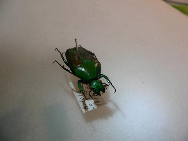 X35 コガネムシ・カナブン類 パプアニューギニア・Bulolo産 標本 昆虫 甲虫 標本 昆虫 甲虫_画像3