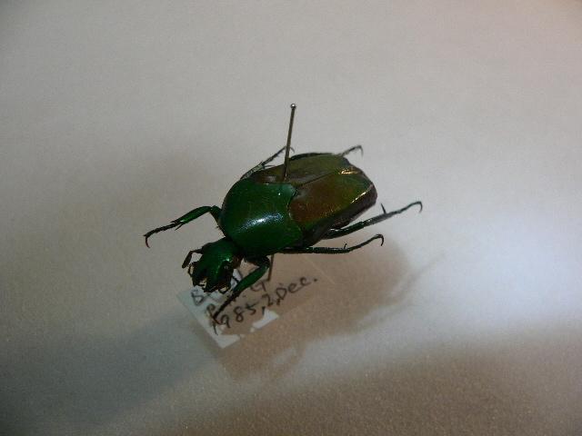 X35 コガネムシ・カナブン類 パプアニューギニア・Bulolo産 標本 昆虫 甲虫 標本 昆虫 甲虫_画像4