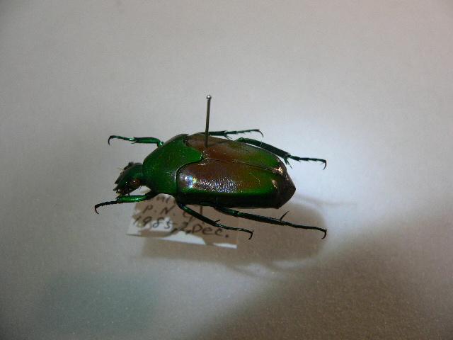 X35 コガネムシ・カナブン類 パプアニューギニア・Bulolo産 標本 昆虫 甲虫 標本 昆虫 甲虫_画像5