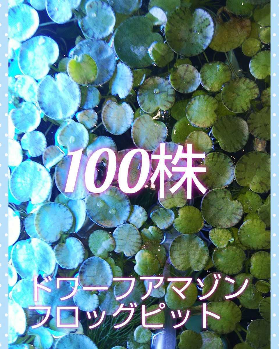【送料無料】無農薬浮草 ドワーフアマゾンフロッグピット100株+α+メダカの餌サンプル1袋 _画像1