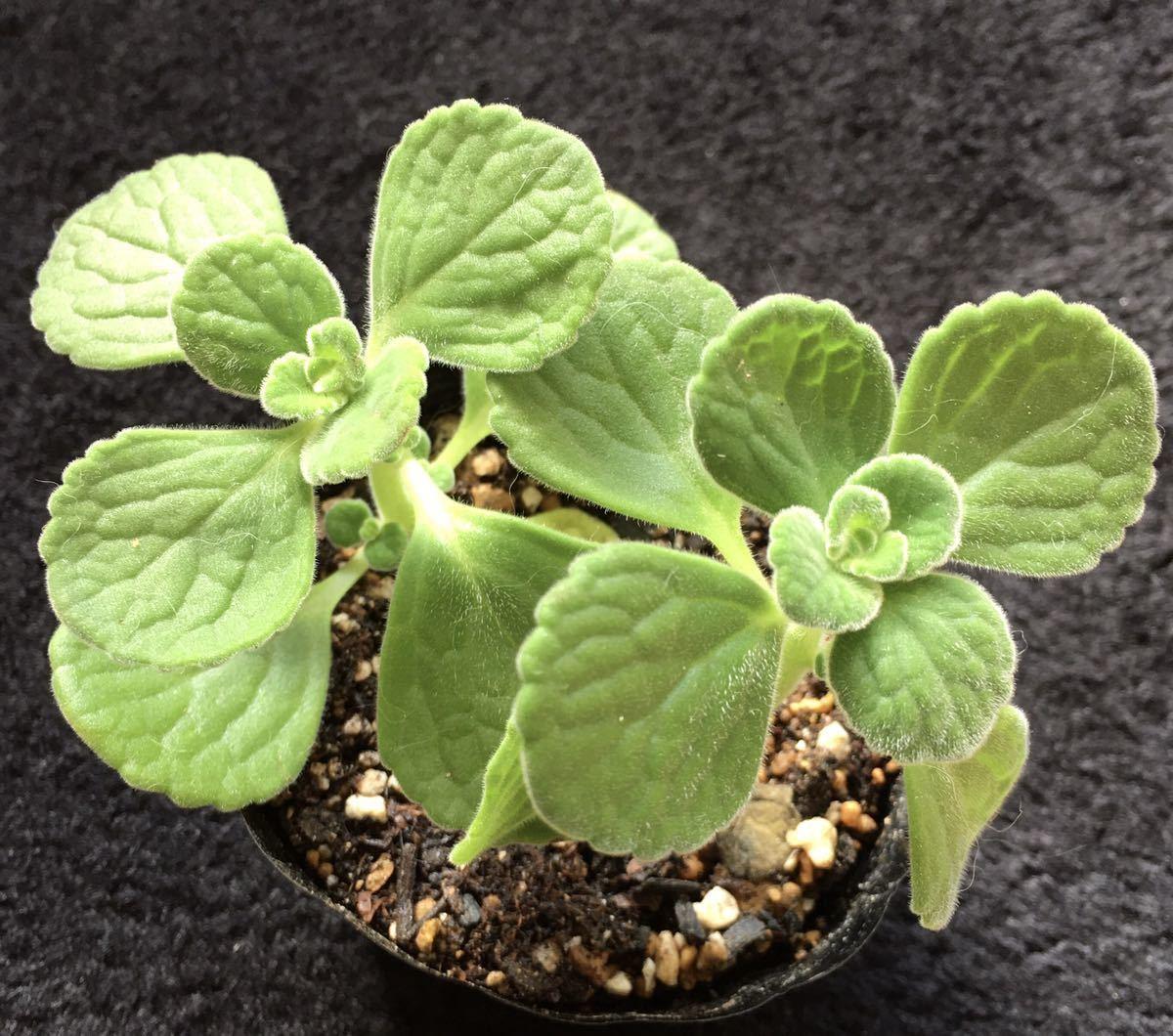 アロマティカス 多肉植物 ハーブ 抜き苗2本 オマケ付き _画像1