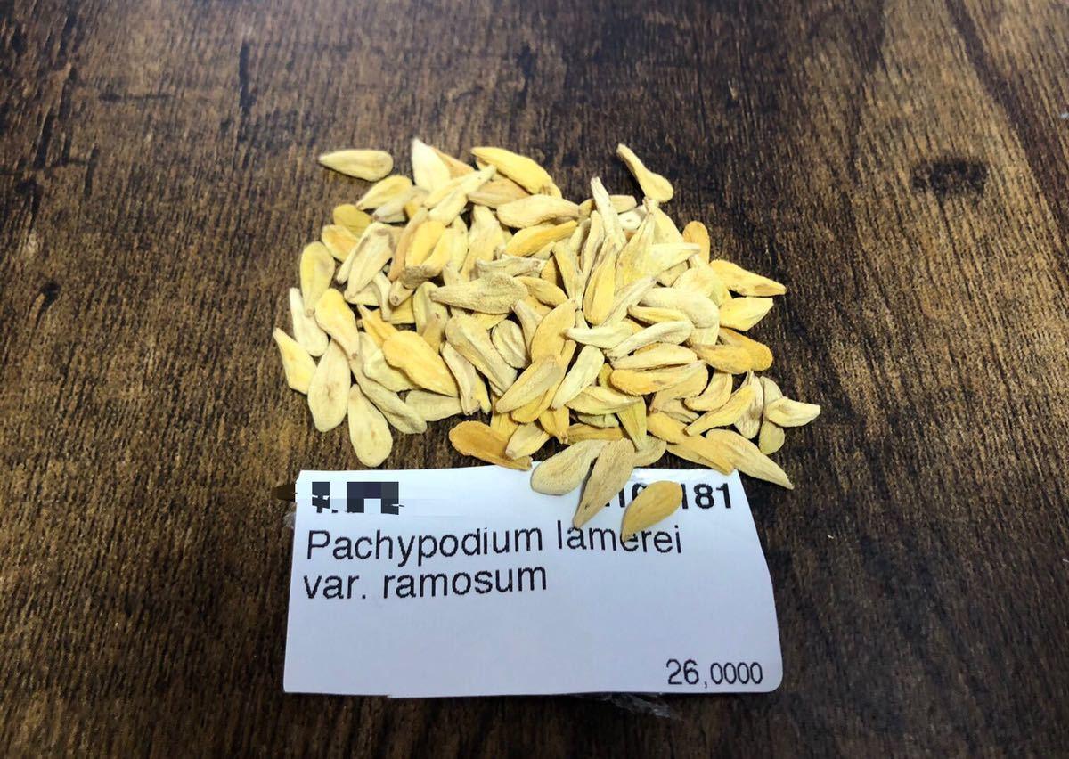パキポディウム ラモスム 種子10粒 検)コーデックス 塊根植物 実生 パキプス グラキリス_画像1