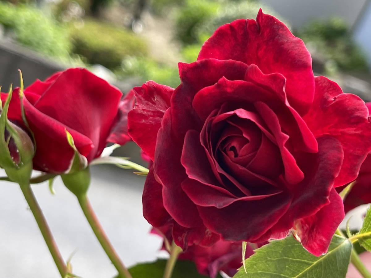薔薇 ばら 挿し穂 2本 赤 ビロード ローズ ■送料無料(挿し木 庭園 低木)バラ ガーデニング 真っ赤 ばら 挿木用_画像3