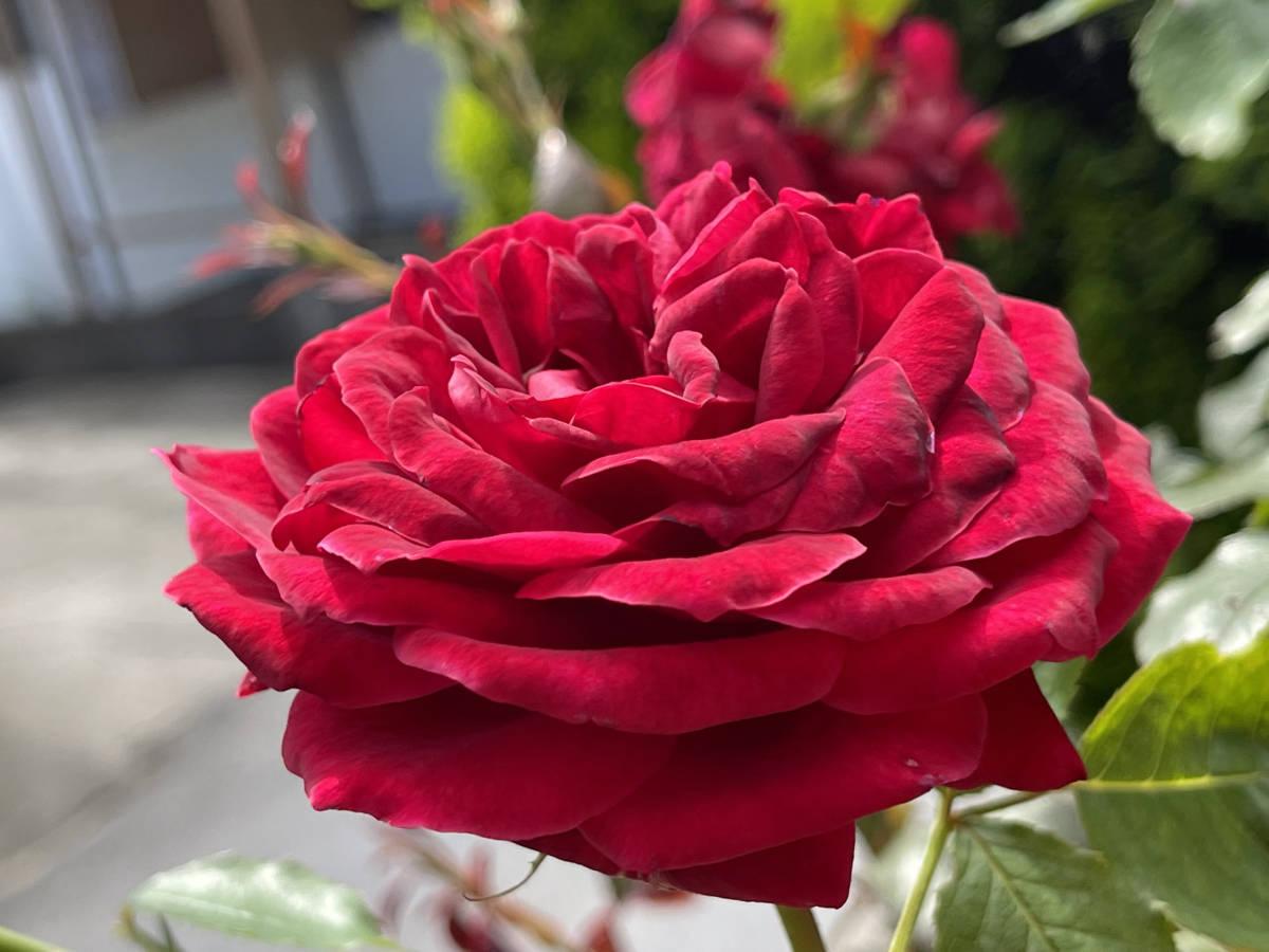 薔薇 ばら 挿し穂 2本 赤 ビロード ローズ ■送料無料(挿し木 庭園 低木)バラ ガーデニング 真っ赤 ばら 挿木用_画像4