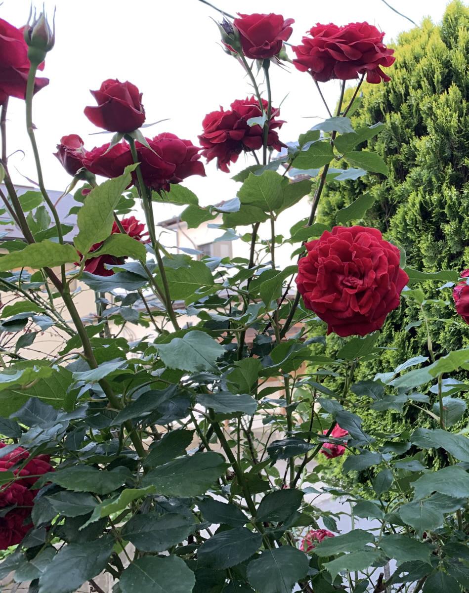 薔薇 ばら 挿し穂 2本 赤 ビロード ローズ ■送料無料(挿し木 庭園 低木)バラ ガーデニング 真っ赤 ばら 挿木用_画像5
