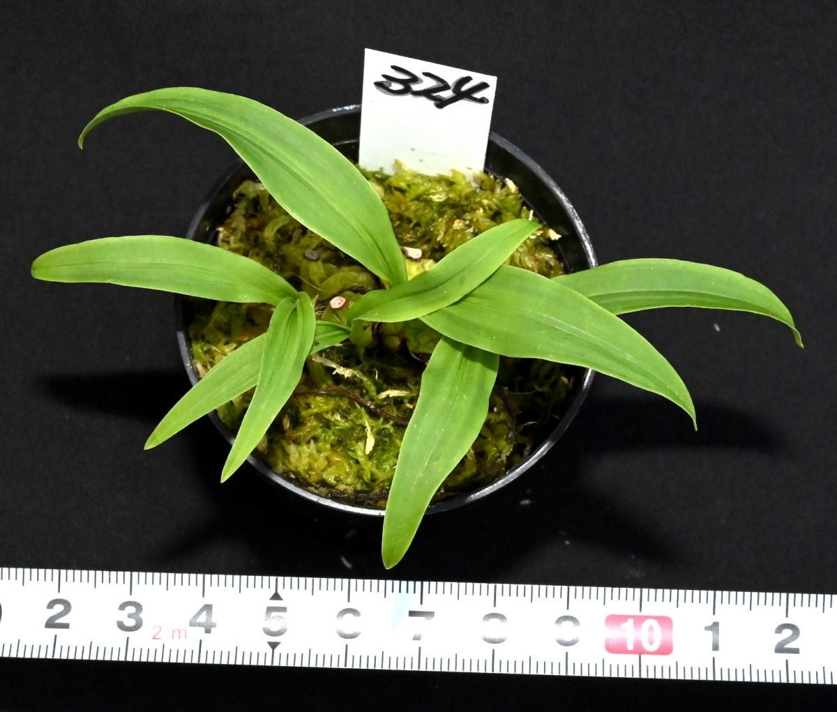 洋蘭原種 (324) 良株 ミニチュアセロジネ Coel. schilleriana セロジネ シレリアナ_今回出品の株です。